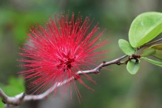 větvička, listy, květina, Červená