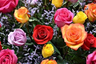 multi-barevné, růže