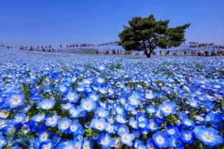Japonsko, park, Хитачи, příroda, krajina, pole, kopec, květiny, немофилы, strom