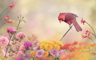 3d, цифрове мистецтво, птахи світу, птиця, кардинал, квіти, троянди, Герань, хризантеми