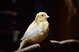 канарейка, пташка, фон