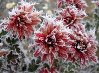 природа, зима, иней, цветы, хризантемы