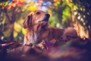 Animal, dog, dog, Retriever, nature, autumn, leaves