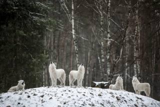 вовк, ЗГРАЯ, зима, сніг