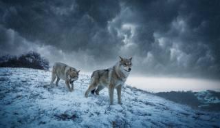 вовки, зима, сніг