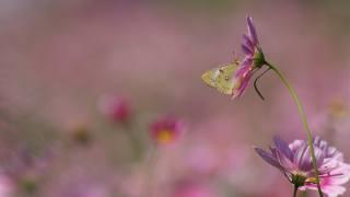 příroda, léto, květiny, космея, motýl