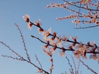 абрикос, цвет, небо