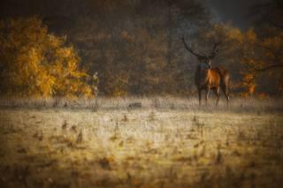 jelen, paseka, les, boke