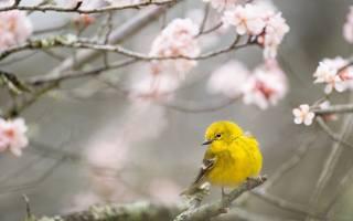природа, весна, цветение, ветки, птичка