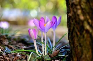 природа, весна, цветы, первоцветы, крокусы, дерево, ствол, боке