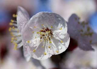 весна, цветение, белый