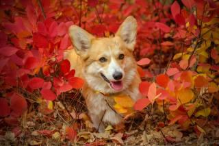 dog, Corgi, leaves