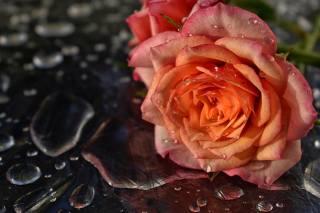 květina, růže, voda, kapky