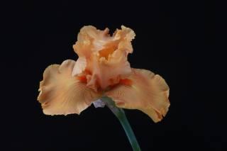 Iris, květina, pozadí