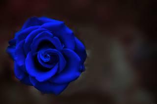 noc, růže, barva