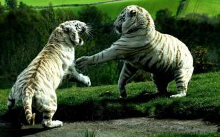 тигри, хижаки, бійка