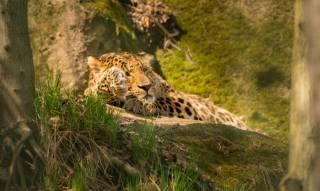 леопард, лежить, відпочинок, тварини