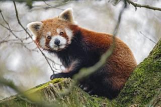 червона панда, панда, погляд, Тварина