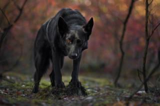 чорний, пес, собака, дивиться