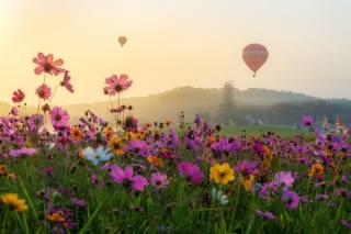 космея, louka, balón, květiny