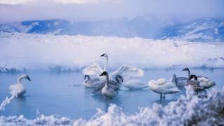 природа, зима, вода, птахи світу, птахи, лебеді