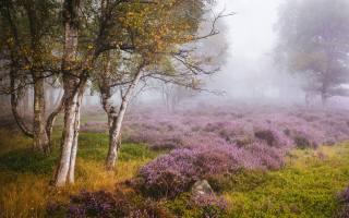 природа, осінь, дерева, Англія, туман, берези, поляна, квіти, лаванда