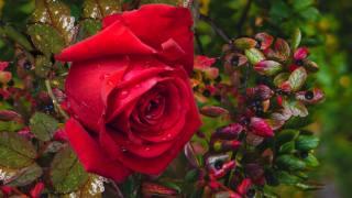 природа, цветок, роза, ветки, ягоды, листья, капли, вода