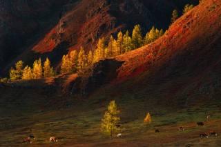 осень, деревья, пейзаж, горы, природа, коровы, пастбище, Алтай, краси матаров