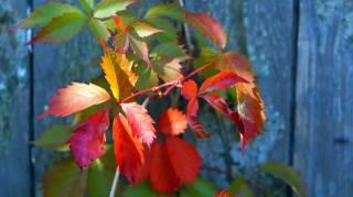 listy, červené, makro, plot, podzim