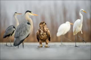дикая природа, птицы, орел, цапли, лед
