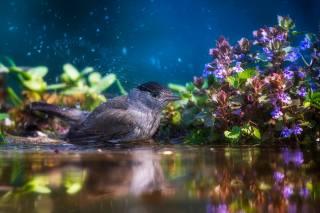 вода, брызги, природа, птицы мира, птица, растительность, купание, Tamas Hauk, черноголовая славка